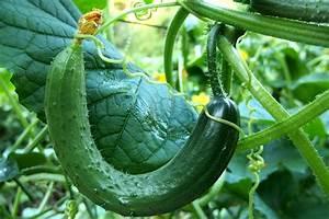 Mini Gurken Pflanzen : gurken pflanzen d ngen und ernten wiressengesund ~ Buech-reservation.com Haus und Dekorationen