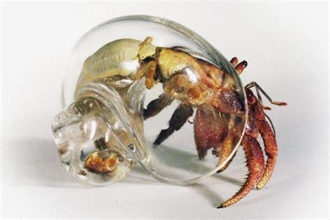 hermit crab out of shell blown glass hermit crab shells huh