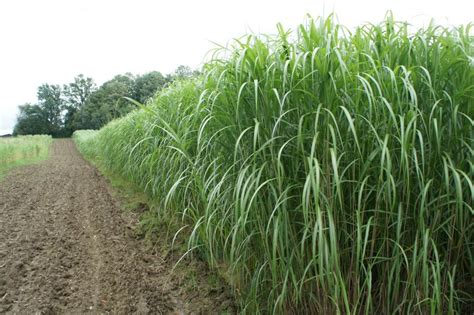 Heizen Mit Miscanthus by Detailed Information On Miscanthus Reed Or