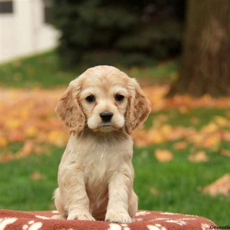 Cocker Spaniel Puppies For Sale  Greenfield Puppies