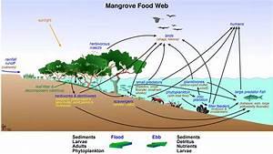 Mangroves And Aquatic Life In Florida