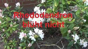 Rhododendron Blüht Nicht : rhododendren bl hen nicht ursache gr nde warum der rhododendron nicht bl ht youtube ~ Frokenaadalensverden.com Haus und Dekorationen