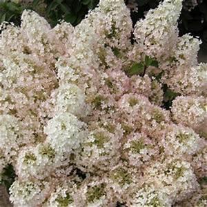 Hydrangea Paniculata Bobo : bobo hydrangea buy online best prices ~ Michelbontemps.com Haus und Dekorationen