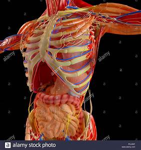 Human Body  Muscular System  Digestive System  Anatomy  Stomach  Esophagus  Duodenum  Colon
