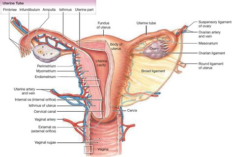 Uterus Pain - Left Side and Right Side Uterus Pain ...