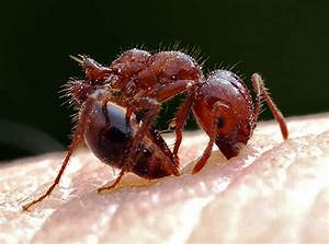 Cisr  Red Imported Fire Ant