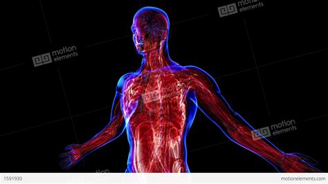 Muscular System Images Human System Tenderness Co