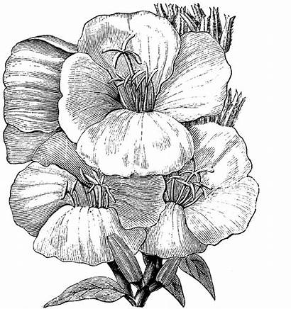 Digital Stamp Primrose Stamps Flower Digi Drawing