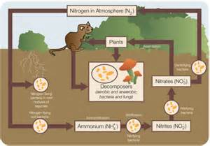 The Carbon Cycle And The Nitrogen Cycle