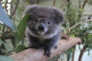 Amazing wildlife - Koala baby photo #koalas | Photos ...