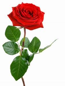 1 Rote Rose Bedeutung : rosen herkunft geschichte bedeutung und symbolik der rose ~ Whattoseeinmadrid.com Haus und Dekorationen