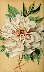 48 best Botanical Flower Prints images on Pinterest