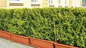 Sichtschutz Immergrün Winterhart : absolut winterharte k belpflanzen erprobte auswahl pflegeleicht ~ Markanthonyermac.com Haus und Dekorationen
