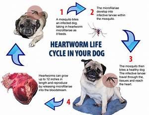disease focus heartworm disease its