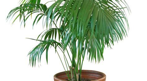 la chambre verte kentia entretien arrossage et rempotage