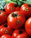 Genetically modified tomatoes - Stock Image - G260/0069 ...
