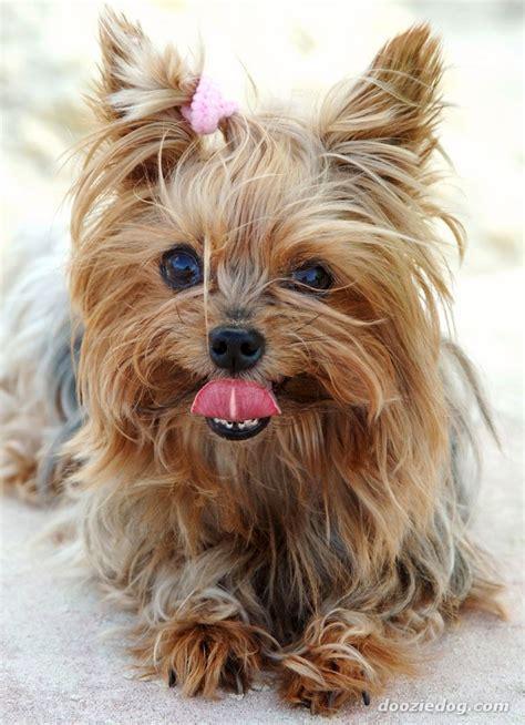 Images Of Yorkies Terriers Images Terrier Hd Wallpaper