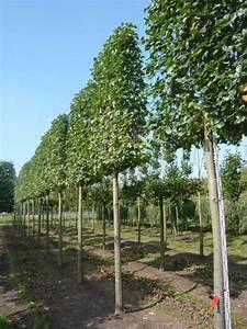 Baum Vorgarten Immergrün : tilia europaea euchlora krim linde 39 hochstamm spalier 39 h ~ Michelbontemps.com Haus und Dekorationen