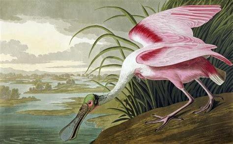 John James Audubon - Roseate Spoonbill - Art Print