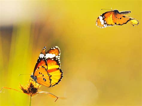 Mariposas Amarillas Imagenes Related Keywords Mariposas