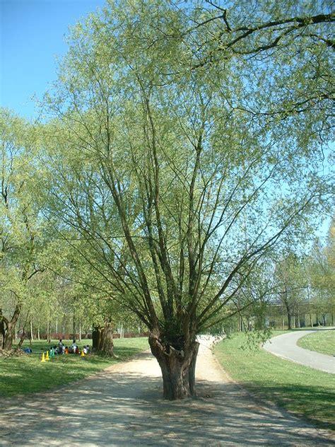 Saule blanc, Anderlecht, Parc de la Pede, parc (Salix alba ...