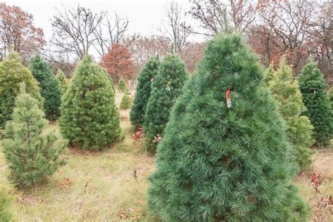 11 christmas tree farms in minnesota that are perfect for