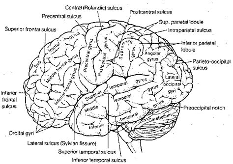 labeled brain black and white basic cerebral cortex function other than vision