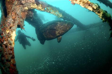 span bridge week specks baitfish shiny incredible marine those grouper goliath hanging wasn vis amount panama fl last comments imgur