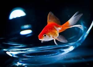 Süßwasserfische Fürs Aquarium : das sind die sch nsten s wasserfische f r dein aquarium ~ Lizthompson.info Haus und Dekorationen