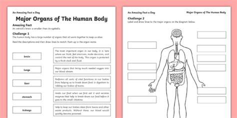 Major Organs Of The Human Body Worksheet  Worksheet  Internal Organs