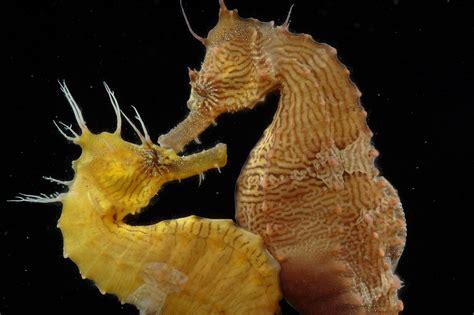 romance   seas strange mating habits   seahorse