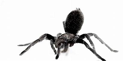 Spider Animated Tarantula Spiders Moving Clipart Gifs