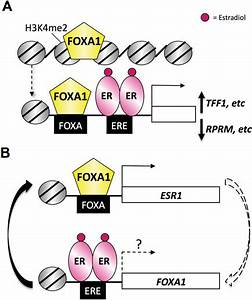 Foxa1  Er Signalling In Breast Cancer  A  Lineage