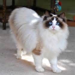 doll cat ragdoll cat breed cat pictures information