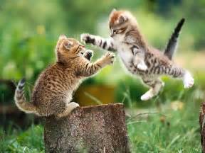 fighting cat cat fight kittens wallpaper 5890541 fanpop