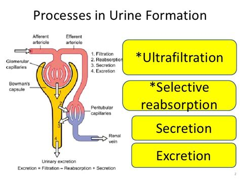 don t send me the link explain the process of formation of urine with suitable diagram add a