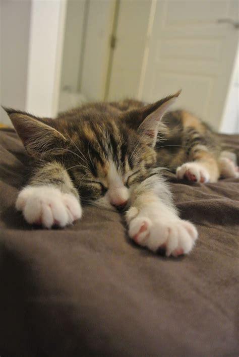 arriv 233 e d un chaton 224 la maison les bons r 233 flexes 224 adopter
