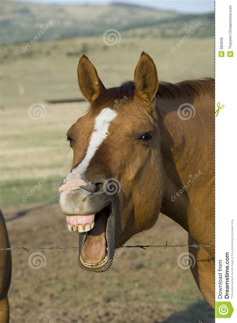 laughing horse stock photo image  chuckle laugh crazy