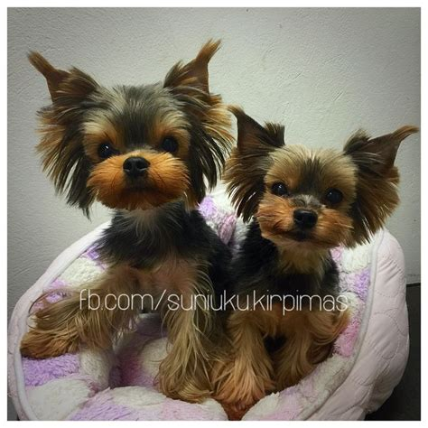 teacup yorkie shedding 25 best ideas about terrier haircut on