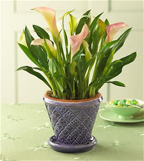 how to care for lilies indoors calla lily indoor rescue tips needed