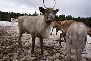 Nom Des Rennes Du Pere Noel : les rennes du p re no l photo et image animaux animaux sauvages nature images fotocommunity ~ Medecine-chirurgie-esthetiques.com Avis de Voitures
