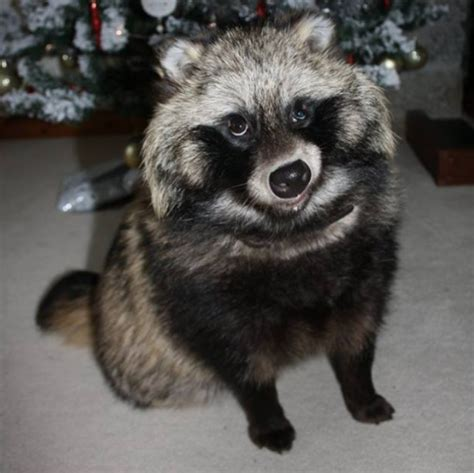 domesticated raccoon appeal for missing pet raccoon dog west country itv news