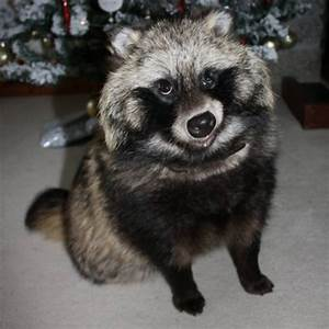 Appeal for missing pet raccoon dog | West Country - ITV News