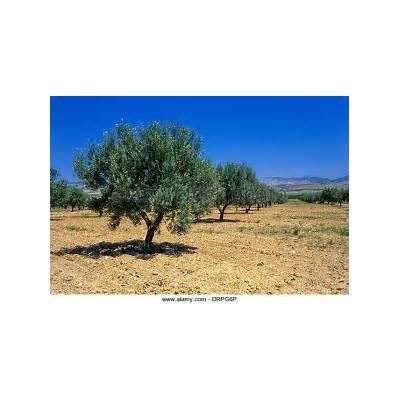 Olive Grove Tunisia Stock Photos &