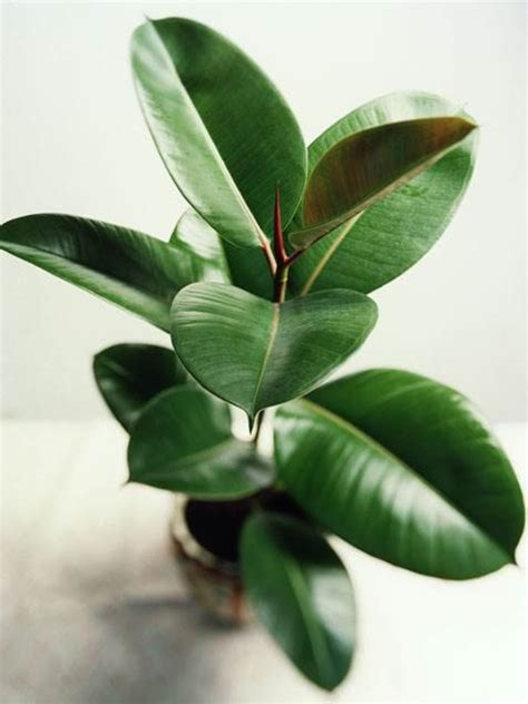rubber plant aiva s great ideas blog green cures all your winter blues the best ways to use plants in your