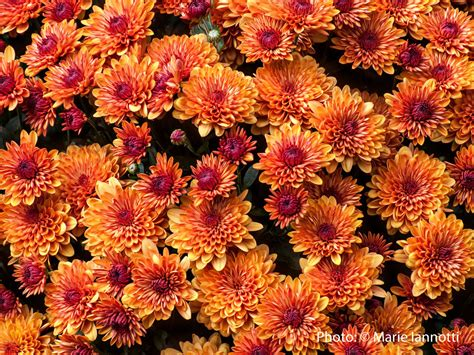 Hardy Mums - How to Over Winter Mums in the Garden