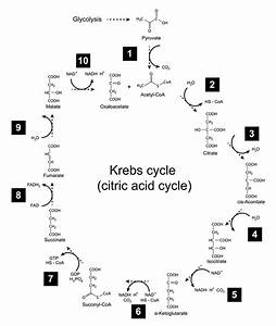 Beginner Krebs Cycle Simple Diagram
