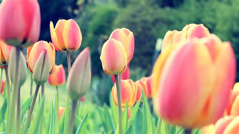 Hd Tulip Background by Easter Tulips Wallpapers Hd Wallpapers Id 12930