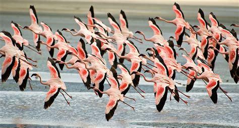 do flamingos fly amazingly breathtaking capture of flamingos photos unique facts