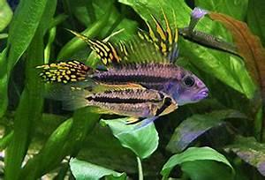 Aquarium Fische Süßwasser Liste : kakadu zwergbuntbarsch apistogramma cacatuoides fischlexikon ~ A.2002-acura-tl-radio.info Haus und Dekorationen